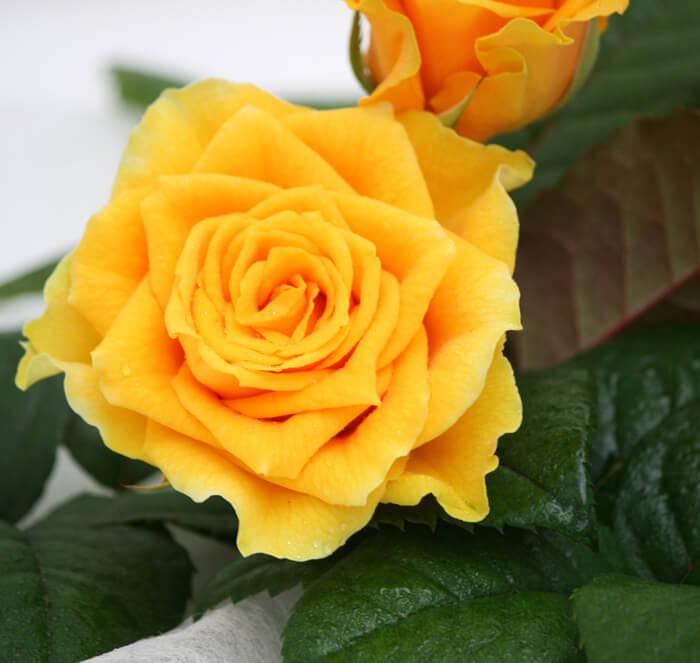 Tunnetko jo Nuppulan ruusut?