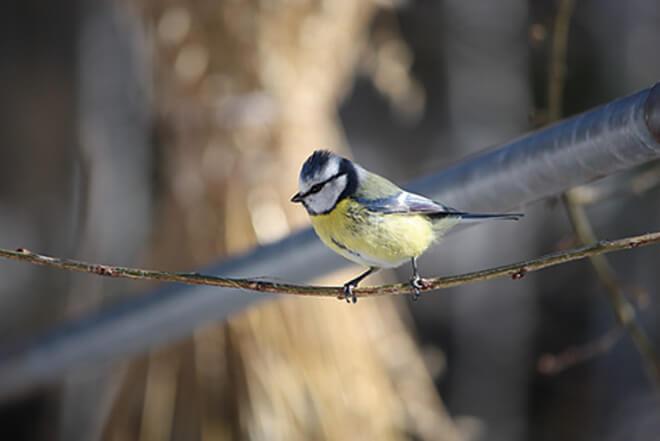 Lintujen talviruokinta