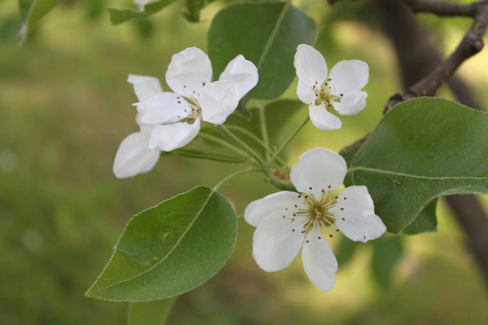 Kasvata päärynäpuu