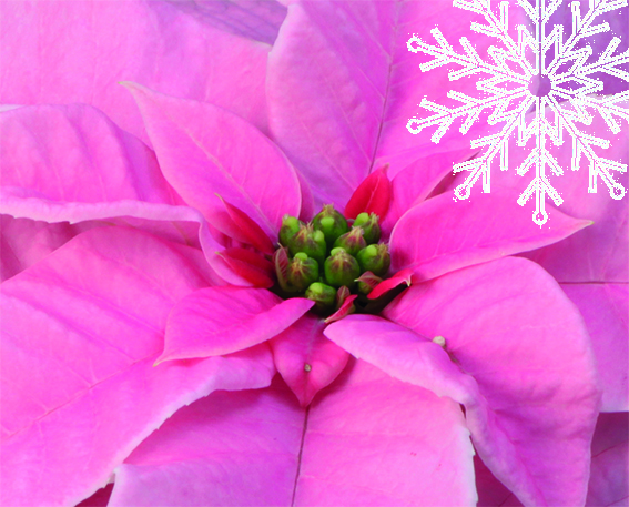 Talven ihanat kukkijat Viherlandiasta
