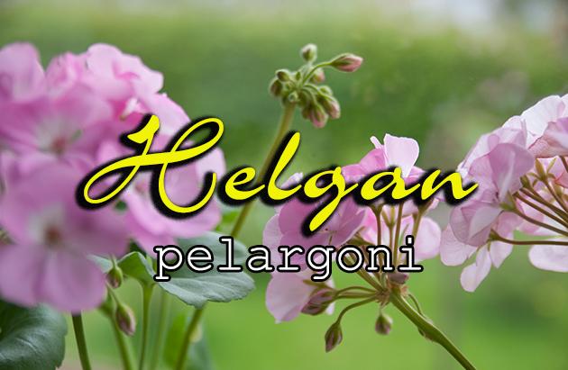 Helgan pelargoni