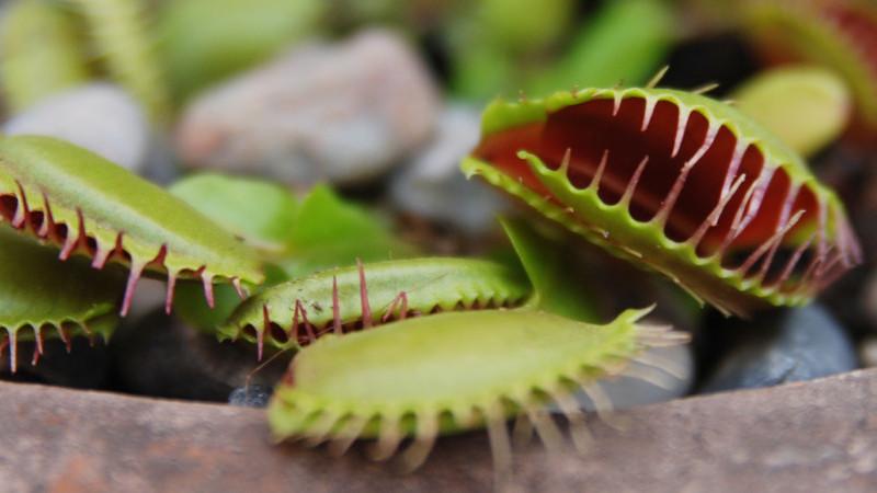 Lihansyöjäkasvit – suloiset saalistajat