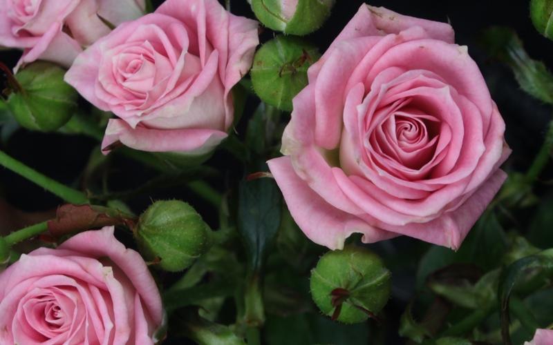 Kauniita nuppulan ruusuja